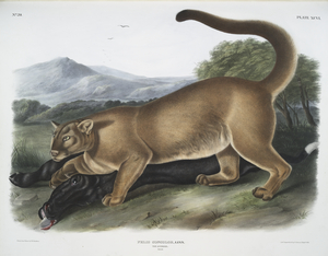 Felis concolor, The Cougar. (Male.)