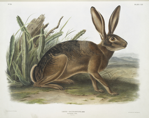 Lepus californicus, Californian Hare. Natural size.