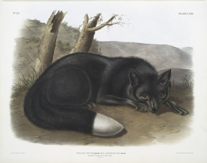Vulpes fulvus, American Black, or Silver Fox.