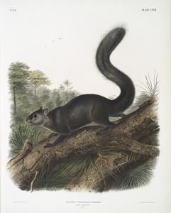 Sciurus nigrenscens, Dusky Sqiurrel. Male. Natural size.