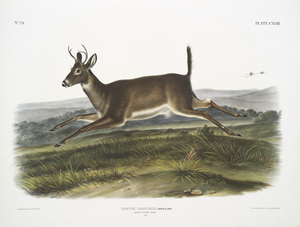 Cervus leucurus, Long-tailed Deer. Male.