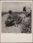 [Berry pickers. Southern