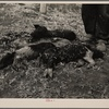Six month old pigs that died of starvation. Ed. A. Scheer farm near Mapleton, Iowa. He had 15 pigs, 14 of which starved. Man's feet show relative size of pigs.
