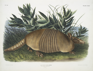 Dasypus Peba, Nine-banded Armadillo. Male. Natural size.