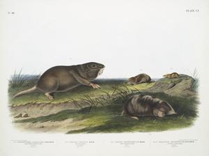 1. Pseudostoma Floridana, Southern Pouched Rat. Old male. Natural size; 2.  Sorex Dekayi, Dekay's Shrew. Young male. Natural size; 3. Sorex longirostris, Long-nosed Shrew. Male. Natural size; 4. Scalops Argentatus, Silvery Shrew Mole. Female. Natural size.