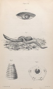 The earthworm: Fig. 1. Young worm escaping from pupa-case, Fig. 2. Earthworm, showing hooks and selled rings, Fig. 3. Anterior rings of worm, with lip, hooks, and respiratory apertures. - from burmeister, Fig. 4. Transverse section of worm. - from ditto.