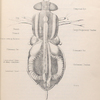 The fly: Diagram showing the anatomy of musca vomitoria.