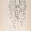 The fly: Proboscis of house-fly, Fig. 1. Proboscis entire, showing lancets, & c., Fig. 2. Magnified ribs, Fig. 3. Magnified section of ribs.