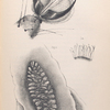 The fly: The anatomy of the fly, Fig. 1. Last joint of tarsus, or foot of fly with hooks and pads, Fig. 1a. Portion of fringe magnified 900 diameters, to show the supposed suckers. Fig, 2. One of the stingmata or breathing -apertures, shown by transmitted light.