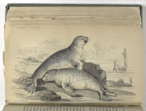 Phoca vitulina, The Common Seal of the French Coast.