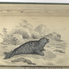 Phoca discolor,  The Marbled Seal, according to Cuvier.