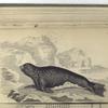 Phoca Monachus,  The Monk Seal.