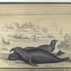 Phoca Proboscidea, The Proboscis Seal, or Elephant Seal. The Male.