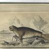 [Phoca Proboscidea, The Proboscis Seal, or Elephant Seal.] The Female.
