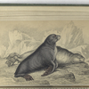 The Ursine Seal, or Sea-Bear of Forster.