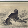 Sea-Bear. (From Specimen in the British Museum).