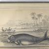 Dugungus Indicus, The Dugong.