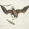 Aquila capite Albo, The White headed Eagle; The Size of the Eagle head.