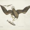 Aquila capite Albo, The White headed Eagle; The Size of the Eagle head.