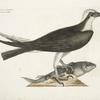 Accipiter Piscatorius, The Fishing Hawk.