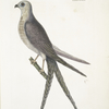 Accepiter [Accipiter] cauda forcipater furcata, The Swallow-Tail Hawk.