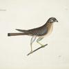 Accipiter minor, The little Hawk.