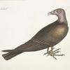 Buteo Specie gallo pavonis,  The Turkey Buzzard.