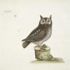 Noctua aurita minor, The little Owl.