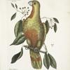 Frutex Lauri folio pendulo, fructu tricocco, semine nigro splendente, Red Wood; Psitticus Paradisis, The Parrot of Paradise.