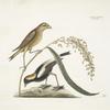 Hortulanus Caroliniensis, The Rice-bird; Oriza, Rice.