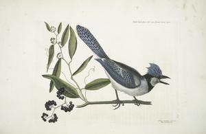 Smilax loevis Lauri folio non Serrato, baccis nigris, The Bay-leaved Smilax ;  Pica cristata carulea, The crested Jay.