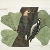 Picus varius ventre rubro, The red belly'd Woodpecker; Picus varius medius quasi villosus, The hairy Woodpecker ; Quercus (forte) Marilandica, folio trifido ad Sassafras Accedente, Black Oak.