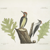 Picus varius minor, ventre tuteo, The Yellow-bellied Woodpecker; Picus varius minimus, The smallest spotted Woodpecker; Luercus Alba Viginiana, White Oak; Luercus Caroliniensis virentibus venis muricata, The White Oak with sharp notches.