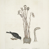 Passer Nivaluis, The Snow-bird; Orobanche Virginiana &c. Broom-rape; Fungoides capitulo intorto, Toad-stool.