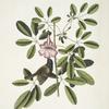 Passerculus bicolor Bahamiensis, The Bahama Sparrow; Bignonia Arbor Pentaphylla, Plum Cat.