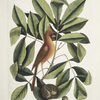 Nux juglans Virginiana alba &c., The Hiccory Tree; The Pig-nut; Coccothraustes ruber, The red Bird.