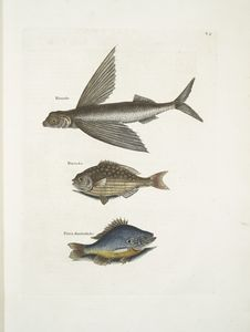Hirundo, The Flying FIsh; Perca &c., The Rudder Fish; Perca fluviatilis &c. , The Fresh-Water Pearch.