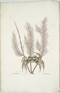 Cancer arenarius, The Sand-Crab; Lithophyton &c.