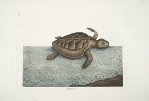 Testudo &c.; The Loggerhead-Turtle.