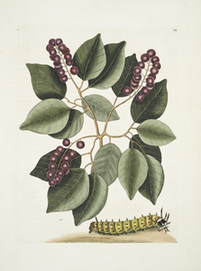 Cerasus &c., Pigeon-Plum; Eruca maxima cornuta, The great horned Caterpillar.