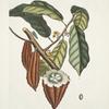 Cacao Arbor, The Cacao-Tree.