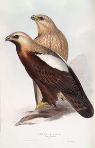 Imperial Eagle. Aquila Imperialis.
