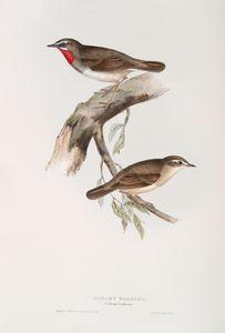 Gorget Warbler (Calliope Lathamii).