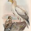 Neophron percnopterus. Egyptian  Vulture.