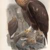 Aquila chrysaëtos. Golden Eagle.