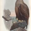 Haliaëtus albicilla. Sea-Eagle.