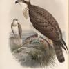 Pandion haliaëtus. Osprey