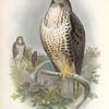Buteo vulgaris. Common Buzzard.