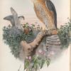 Accipiter nisis. Sparrow-Hawk.
