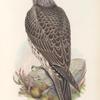 Falco islandus. Iceland Falcon, young.